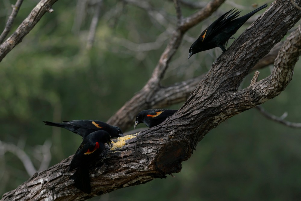 Red-winged Blackbirds eat from the food provided by the Salineño Wildlife Refuge in Salineño, Tex., on Feb. 15, 2020.Verónica G. Cárdenas for The Intercept
