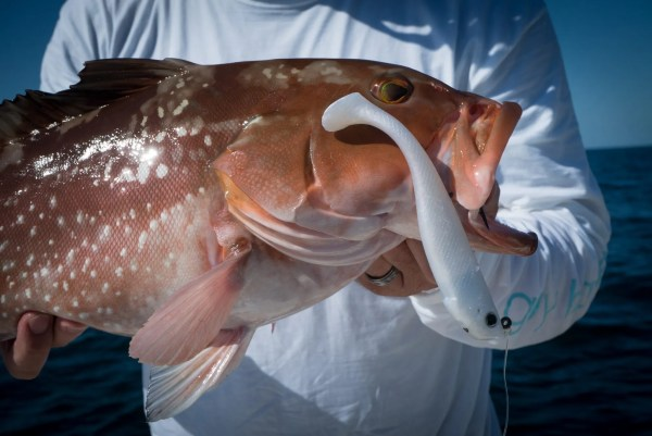 This Red Grouper Fell For A Hogy Pro Tail Paddle Swimbait.