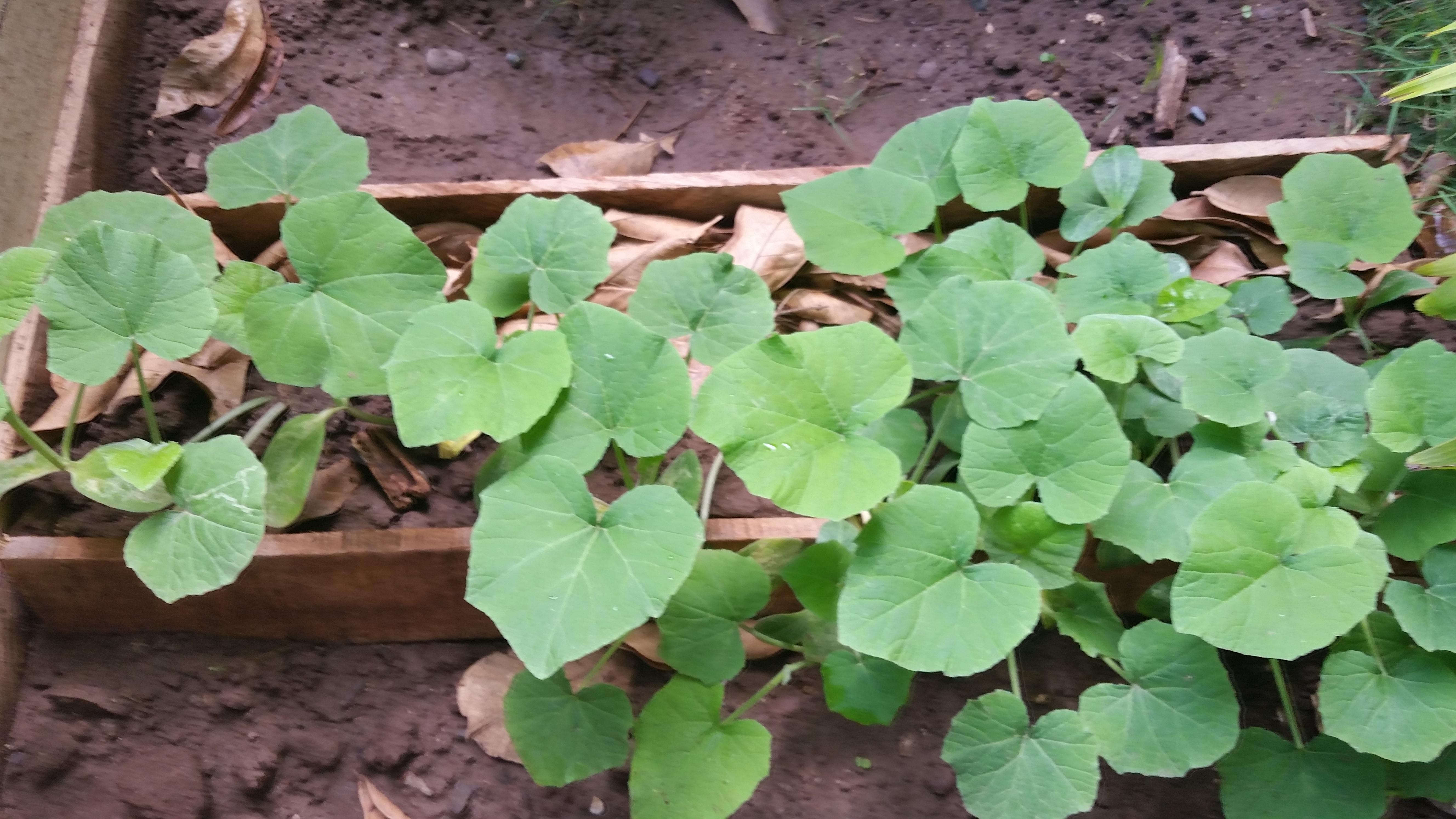 Jamaican Urban Organic Farming #2: Small Crops