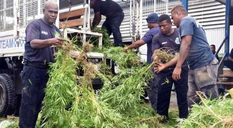 Police raid and uproot garden marijuana