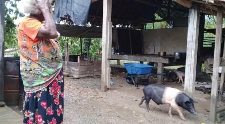 Rising river causes pigs to evacuate