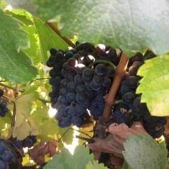 oakridge zin grape