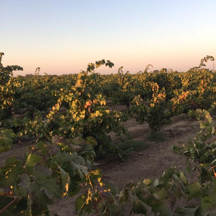 Oak Ridge Winery, Zinfandel Vines, Lodi, California