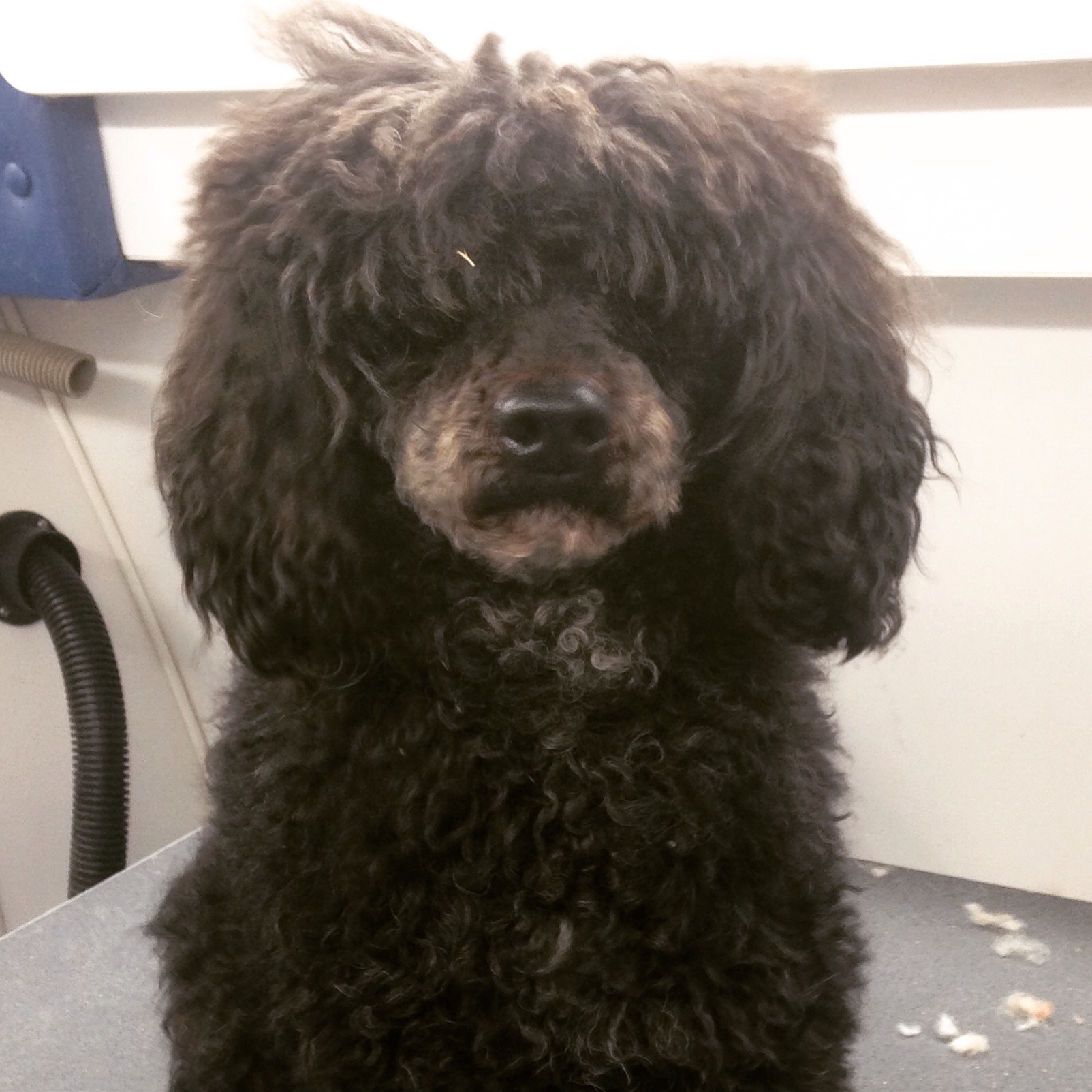 Start To FinishMiniature Poodle Haircut This Groomers Life