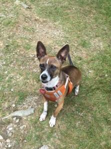 Gizmo! Hiking dog extraordinaire