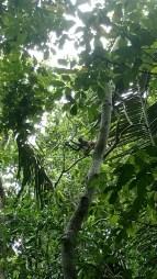 A spider monkey in the Rio Bravo area.