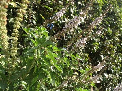 Basil flowers - rehan in Arabic - available almost year-round and strongly scented, are the bees' favourite.