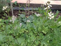 Among the rocket, there's also coriander: I'm happy to use the leaves in cooking but I prefer the seeds, when dried. As for the bees, they take the part that's in between - it's flowering right now.
