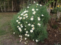 A mystery: What is this plant - and do the bees like the look/perfume of those pretty blooms? The jury's out on that...
