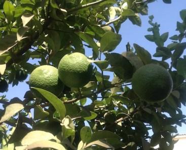 Lemons int he sun