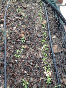 Mizuna and lettuce