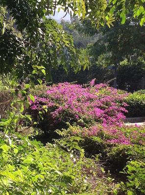 A bright flash of Bougainvillea