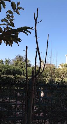 pear-tree-1