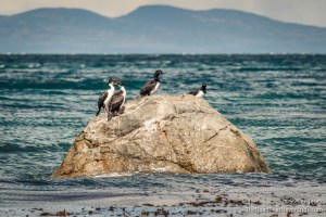 """Fake Penguins"" aka Magellanic Cormorants"
