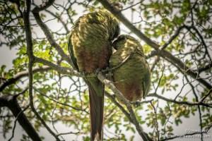 Parakeetes on Fitz Roy Hike