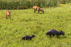 Marsh Deer and Capybara