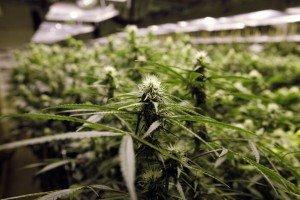 Marijuana_Tourism_02256
