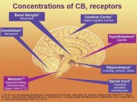 Our body produces its own endocannibnoids, and has receptors throughout our body.