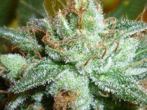 marijuana3
