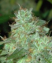 marijuana plant 400