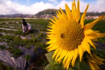 1: A bee on a giant sunflower is seen as a tourist takes pictures of unpick strawberries at the strawberry field in La Trinidad valley in Benguet.
