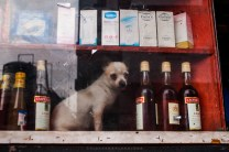 A miniature dog is seen resting inside a store shelf filled with assorted items in Baguio City.