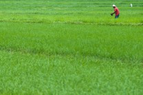 A farmer cleans out weeds along his rice paddies in a town in La Union.