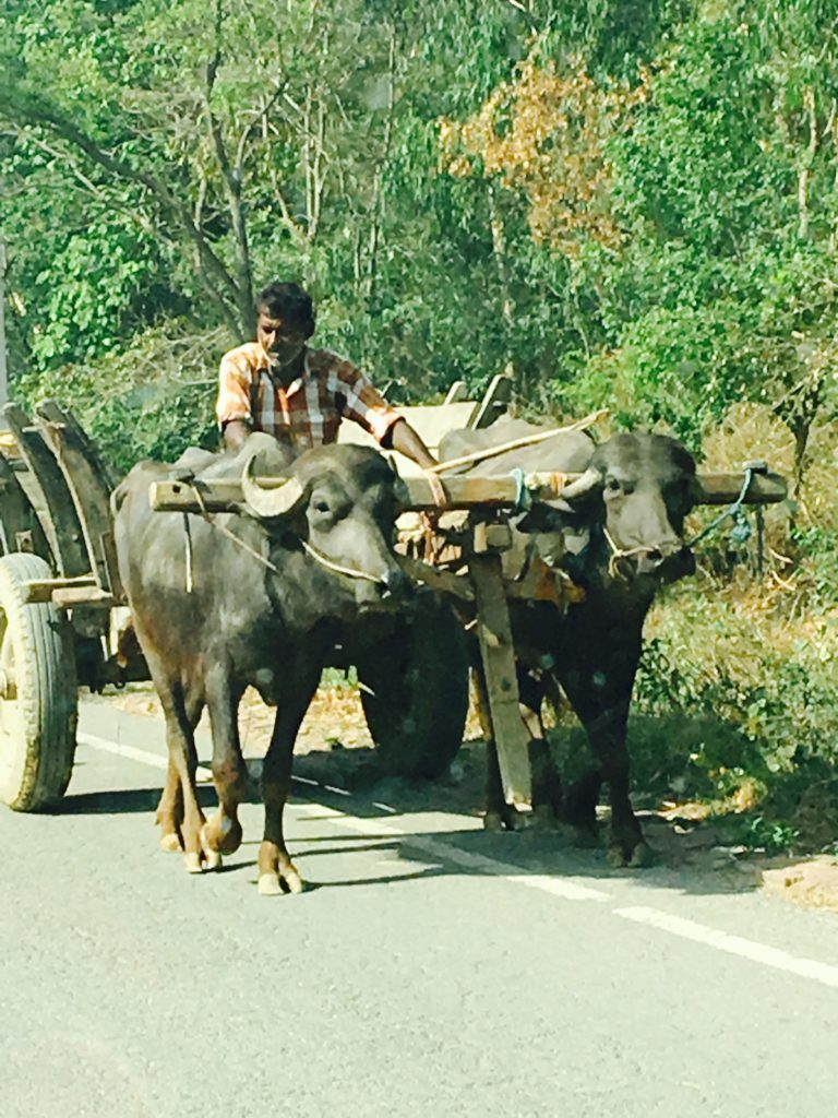 Water buffalo pulling a cart on the highway
