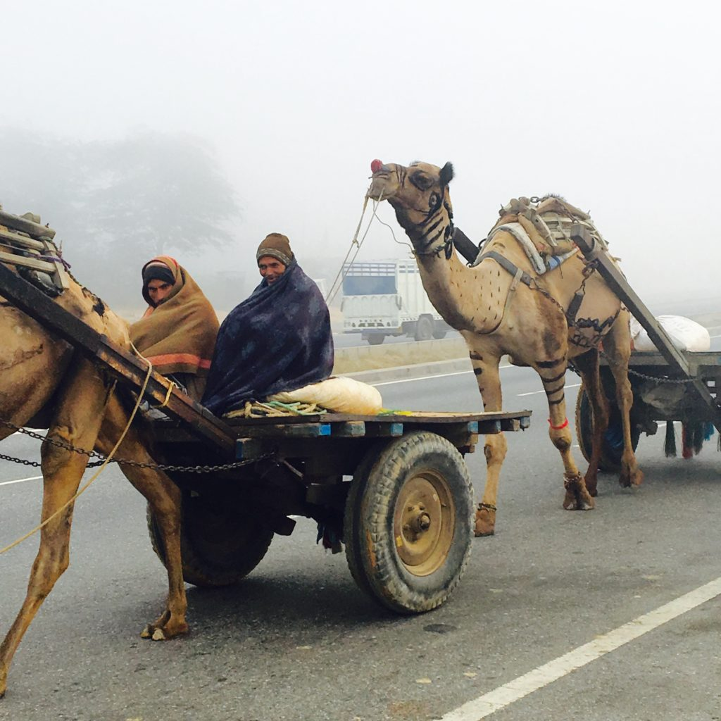 Camel carts on the highway in India