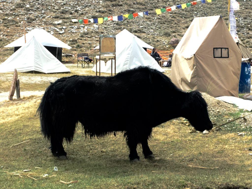 The yak wandering through camp
