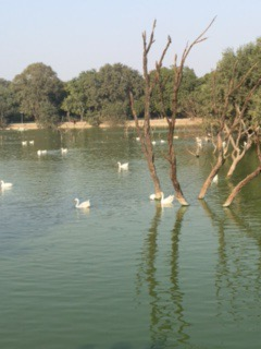 Swans on the lake at HKV