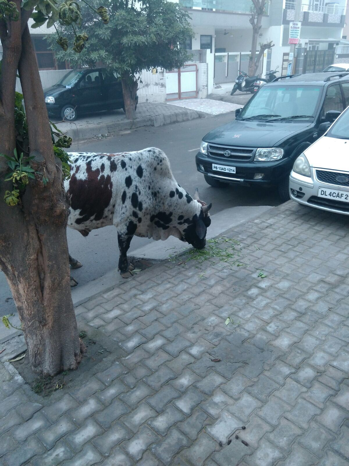 Cow wandering the streets in India
