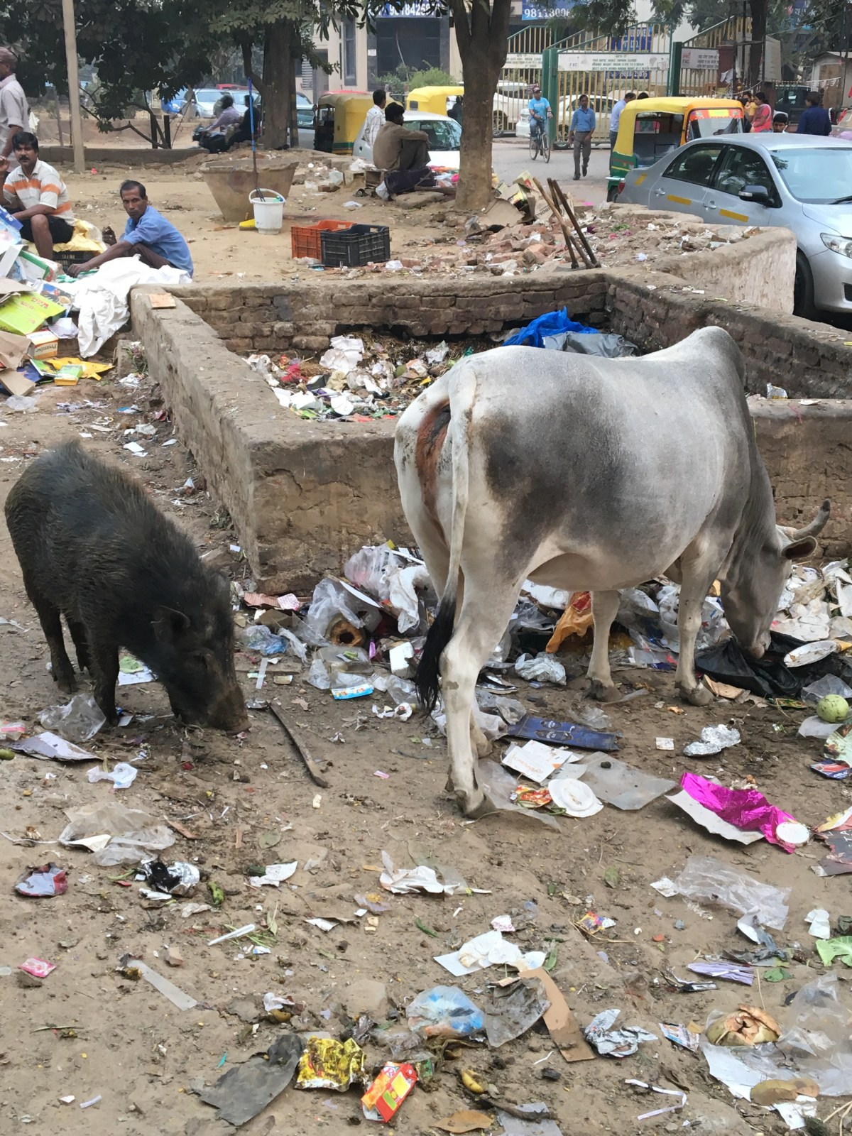 Wild cow and a pig eating the garbage