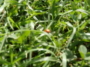 Blurry Ladybird on Grass
