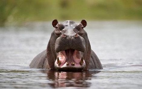 hippo-mouth_1440541c
