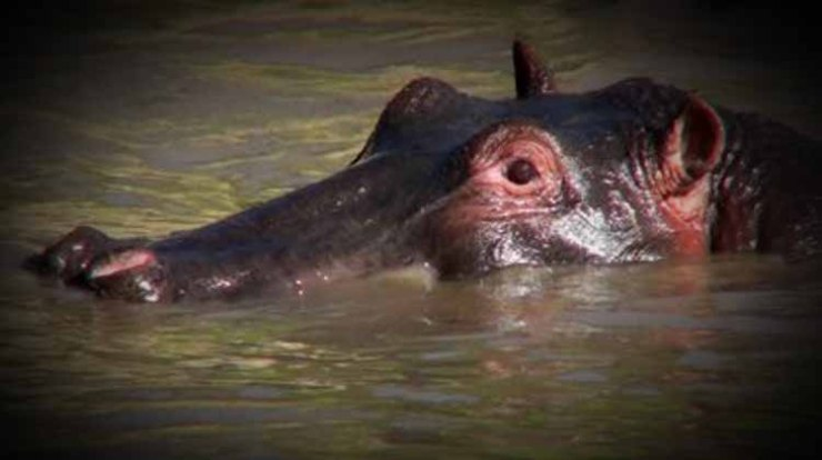 stock-footage-a-hippo-peers-out-of-a-watering-hole-in-africa