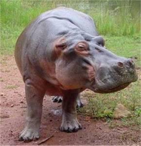 hippo3