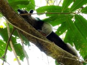 Ant eater up a tree