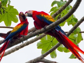 The red macaws, always in pairs and always screaming at each other like old bitter married couples.