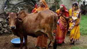 Cow in Inida