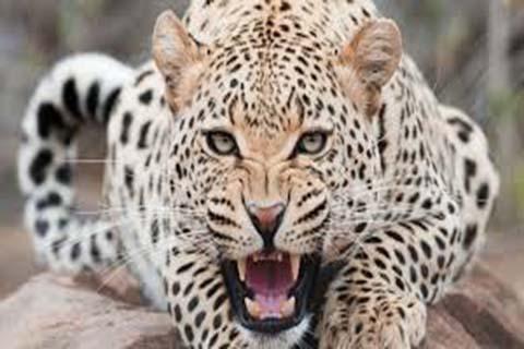 Wildlife Deptt traps leopard in Budgam locality