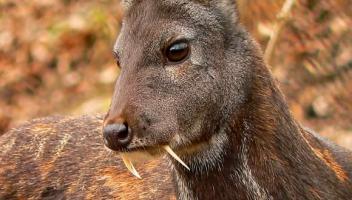 Genes indicate endangered Kashmir Musk Deer also present in Nepal: Study
