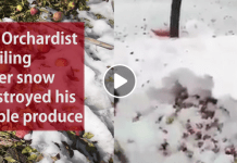 kashmir, snowfall orchard video