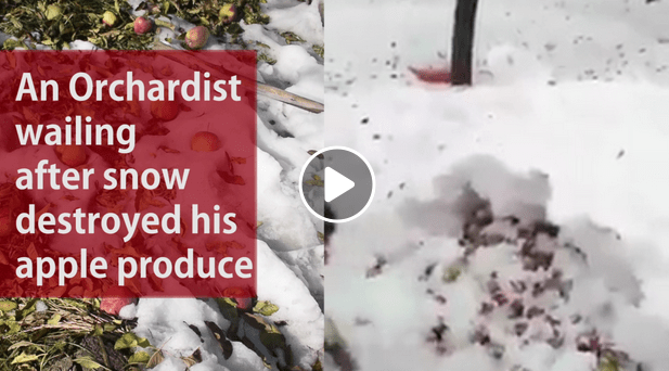 kashmir, snowfall orchard video