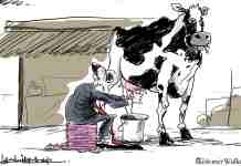 Kashmir, cow business in kashmir, kashmiri cow, kashmir milk industry,