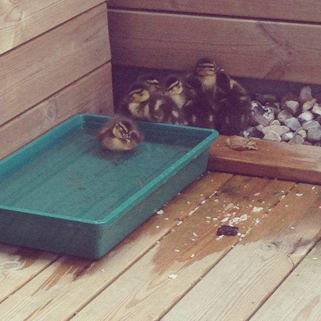 An English Mamma in Stockholm: duck ducklings family