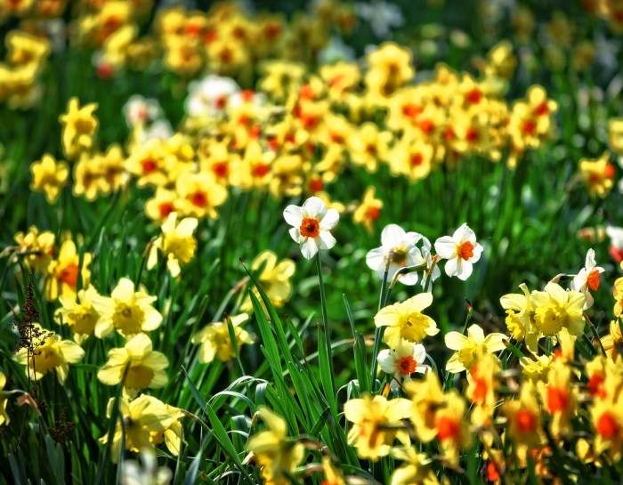 Best Daffodils for the Central Coast