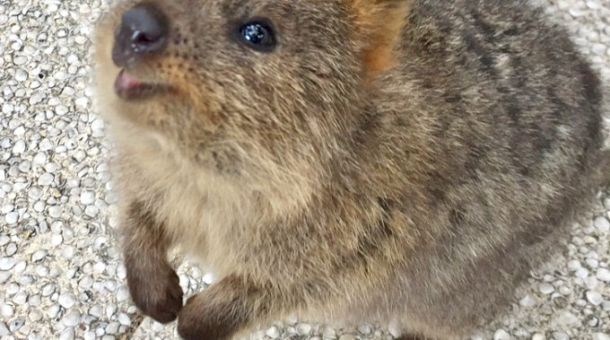 A Quick Guide to Rottnest Island in Winter: Quokkas and Stunning Beaches