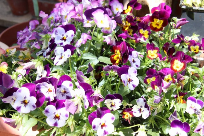 Colourful pansy flower display