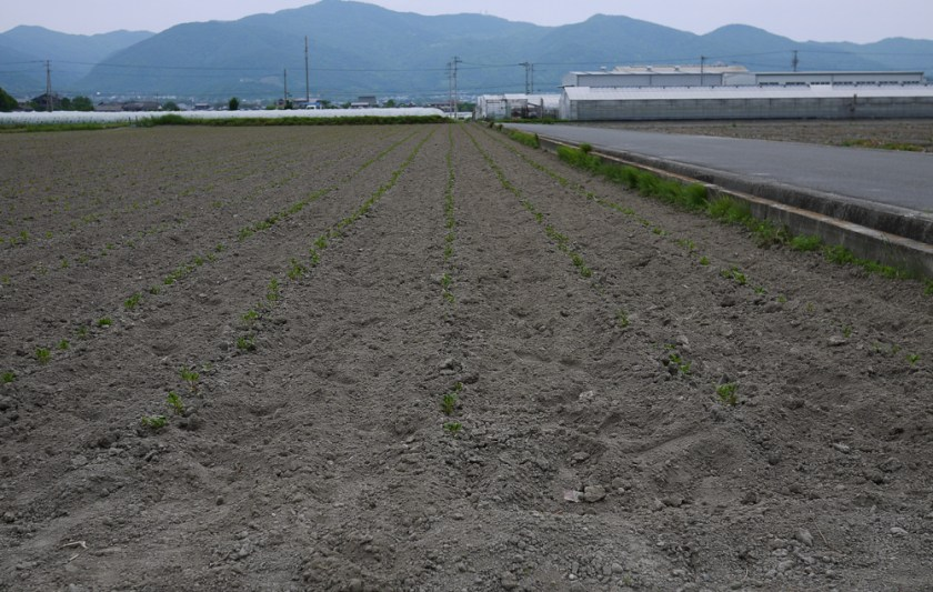 Buaisou's indigo field in May, shortly after planting.